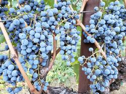 Howell Mountain Cab clusters