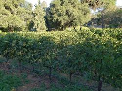 Howell Mountain vines
