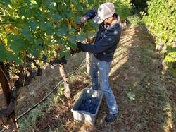 Winemaker Juan Orozco harvesting