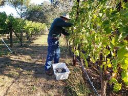 Vineyard owner Steve Vosti harvesting