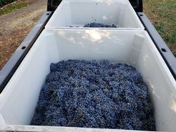 Getting ready to transport to winery